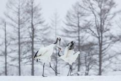 Crane Dance (BP Chua) Tags: bird nature wild wildlife animal crane japan kushiro hokkaido tree winter snow dance pair canon 1dx canon1dx