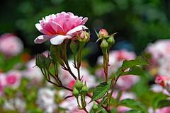 Rosae, Rosae, Rosa (Ciceruacchio) Tags: vie life vita rose rosa fleur fiore flower tango collège rêve piège dream sogno trap trappola enfance jacquesbrel nikond750