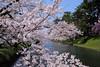 弘前城公園 (light03) Tags: japan hirosaki sakura 日本 弘前 櫻花 canon6d ef1635mmf4lisusm