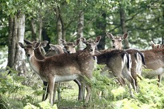 Wild Fallow Deer. I think I've been spotted! (Lil.nikky) Tags: countryside walk wildlife nature wild fallow deer rx10iv rx10m4