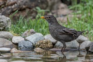 Turdus merula ♀︎ (Merlo femmina, Blackbird).