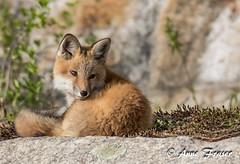 don't look back (Anne Marie Fraser) Tags: redfox redfoxkit foxkit nature animal wildlife mammal dontlookback moss rock cute