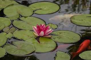 Koi Pond 2018 06
