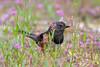 Spotted Towhee (Linda Martin Photography) Tags: deceptionpassstatepark usa anacortes washington bowmanbay sparrow spottedtowhee passerine pipilomaculatus us bird coth coth5 ngc npc