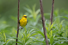 Blue-winged Warbler (nikunj.m.patel) Tags: warbler nature wild wildlife bird bluewingedwarbler spring migration sing song nikon naturephotography avian birds