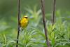 Blue-winged Warbler (nikunj.m.patel) Tags: warbler nature wild wildlife bird bluewingedwarbler spring migration sing song nikon naturephotography avian birds