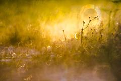 Good morning sun. (look to see) Tags: goldenhour bokeh mirrorlens osawa 300mm sintmaartensheide beek bree belgium 2018 lente spring mood