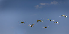 2018-05-26--zones humides0155.jpg (heiserge) Tags: pontàmousson france macro zoneshumides nature swan cygne oiseauxbirds printemps wetlands europe lorraine meurtheetmoselle macrophotographie animal animaux