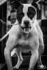 """Sesión ganadores 2º"" (Dog Alphas) Tags: nikond7200 lentenikonnikkorafs105mm128gedvrmicro rawquality dogalphas alphasessions photoshoot sesiónfotográfica fotografíademascota petphotography retrato dogportrait mascota pet perro dog travieso agendatusesión blancoynegro blackandwhite"