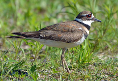 Killdeer at the pond (ctberney) Tags: killdeer charadriusvociferus shorebird noisy nature