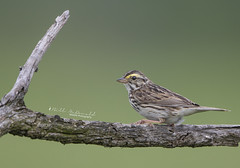 Savannah Sparrow (Bill McDonald 2016) Tags: savannah sparrow billmcdonald wwwtekfxca ground grassland ontario 2018 may canada httpgrenfellweeblycom fence post fencepost perch perching perched
