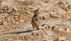 Crested Lark (kevinclarke1969) Tags: crested lark cyprus cavo gkreco cape greco