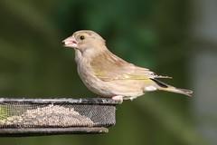 Greenfinch (chloris chloris) (mrm27) Tags: foxton cambridgeshire greenfinch chloris chlorischloris