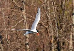 Common Tern Fishing from Above (ksblack99) Tags: bird standishtownship michigan commontern sternahirundo tern