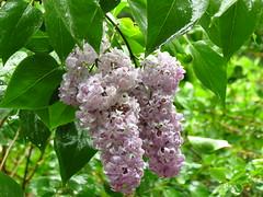 IMG_5140 wet lilacs (jgagnon63@yahoo.com) Tags: bramptontownship deltacountymi spring
