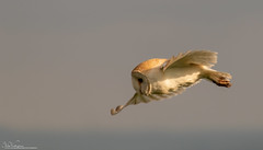 Barn Owl At Dawn (Steve (Hooky) Waddingham) Tags: bird british barn wild wildlife countryside nature voles mice morning flight hunting prey photography owl