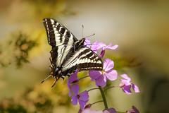 PALE  SWALLOWTAIL (Sandy Hill :-)) Tags: butterflies butterfly swallowtailbutterflies wildflowers damesrocketflowers pink spring springtime softlight sandyhillphotography yellow beautiful nature butterfliesofbc butterfliesofvancouverisland butterfliesofthepacificnorthwest