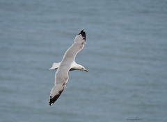 Gull (yvonnepay615) Tags: panasonic lumix gh4 nature bird gull mwnt wales uk