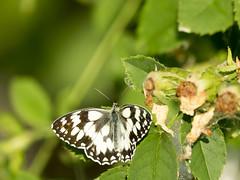 P6020947 (turbok) Tags: insekten schmetterlinge tiere c kurt krimberger