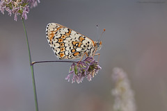 Glanville Fritillary (S W Mahy) Tags: butterfly guernseymacro closeup insect channelislands thrift coast torteval glanville fritillary bokeh