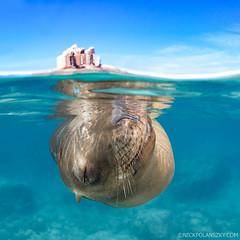 Sleepy Time (NickPolanszkyPhotography) Tags: nick polanszky underwater photography canon 5diii aquatica sea lion mexico la paz baja california lions los islotes