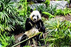 Da Mao 2 (darletts56) Tags: panda male da mao bamboo plants green rocks sit sitting animal loan eat eating zoo calgary alberta canada dinner meal