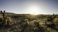 Sunset over Cholla Cactus Garden - Joshua Tree National Park (acstnl) Tags: 2018 may sel1670z a6000 california joshua national park sony tree zeiss cholla cactus garden sunset panorama desert