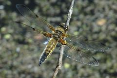 Kiil (Jaan Keinaste) Tags: olympussh1 eesti estonia elusloodus fauna kiil dragonfly odonata libellulaquadrimaculata vierfleck harilikvesikiil fourspottedchaser