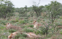 Lions. (annick vanderschelden) Tags: lionesses lion lioness cat mammal wildlife animal nature savannah bush grassland southernafricanlionesses etoshanationalpark grass trees africa southernafrica sky lazing resting namibia