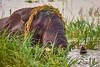 Elephant with headdress (flowerikka) Tags: animal bathing botswana chobenationalpark choberiverfront elephant gräser grass green nature plants riverbank ufer water