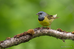 Morning Warbler (Earl Reinink) Tags: bird animal branch tree feathers wildlife nature outdoors outside songbird warbler earl reinink earlreinink morningwarbler turaodrdza