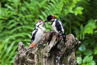 Great Spotted Woodpecker feeding it`s fledgeling