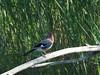 garrulus glandarius...ghiandaia (quarzonero ...Aldo A...) Tags: ghiandaia garrulusglandarius bird faunadellavaldenza nature natura coth alittlebeauty coth5