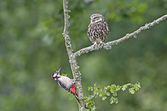 Great Spotted Woodpecker and Little Owl (phil winter) Tags: greatspottedwoodpecker dendrocoposmajor little owl athenenoctua