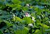 Nelumbo nucifera_Indian lotus_sacred lotus_bean of India_Egyptian bean_lotus (Paul's Captures (paul-mashburn.artistwebsites.com)) Tags: blackberry blackeyedsusan pickerelweed monet lotus nelumbonucifera magnolia butterflyweed commondaisy