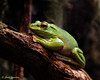 Chinese Gliding Frog; Rhacophorus dennysi (Stan in FL) Tags: rhacophorus dennysi chinese gliding frog nikon amphibian university florida