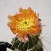 Opuntia phaeacantha Orangeade