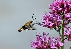 BROAD BORDERED BEE HAWK MOTH (merseymouse) Tags: moths broadborderedbeehawkmoth wildlife insects inexplore exploredphoto