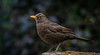 Blackbird on our garden. (pitkin9) Tags: bird blackbird ourgarden nature wildlife