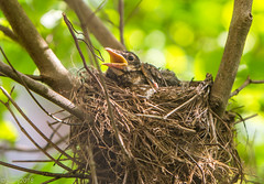 Baby Bird in a Nest (JuanJ) Tags: nikon d850 lightroom art bokeh nature lens light landscape white green red black pink sky people portrait location architecture building city iphone iphoneography square squareformat instagramapp shot awesome supershot beauty cute new flickr amazing photo photograph fav favorite favs picture me explore interestingness wedding party family travel friend friends vacation beach robin bird baby next kentucky scottcounty georgetown animal