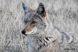 DSCN8061 coyote