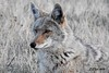 DSCN8061 coyote (starc283) Tags: starc283 wildlife flickr flicker kits canon 7d nature natures finest nebraska watcher outdoors outdoor predator prairie smug bug animal grass bear pet mammal wood coyote