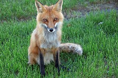 Fire Fox (marylee.agnew) Tags: red fox light sparkle eyes soul nature life wildlife beauty