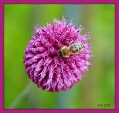Bienenfrühstück - Bee breakfast (antje whv) Tags: bienen honeybee blumen flowers blüte blossom chives trommelstocklauch