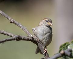 Gorrion Juvenil (Tobales) Tags: hidesherpa barcelonafauna parcagraridelbaixllobregat birds juvenil gorrión