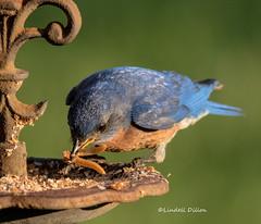 Daddy Bluebird (Lindell Dillon) Tags: easternbluebird sialis bird birding nature oklahoma normanok wildoklahoma bluebirddiary