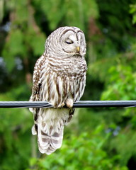 Barred Owl ~ 2 (diffuse) Tags: owl barredowl ptarmigancreek britishcolumbia highway16 bird cable wire forest cedars poplar