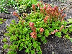 . (Гали) Tags: седум очитки суккуленты растения цветы сухойручей succulent plant flowers