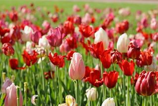 Lovely Flowers, Cantigny Park. 56 (EOS)