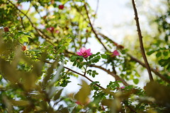 DSC_0281 (PeaTJay) Tags: nikond750 reading lowerearley berkshire macro micro closeups gardens outdoors nature flora fauna plants flowers rose roses rosebuds